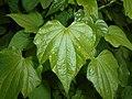 Dioscorea caucasica 2016-05-31 1864.jpg