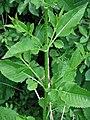 Dipsacus strigosus leaf (01).JPG