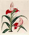 Disa uniflora (as Disa grandiflora) - Bot. Reg. 11 pl. 926 (1825).jpg