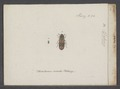 Ditoma - Print - Iconographia Zoologica - Special Collections University of Amsterdam - UBAINV0274 017 09 0005.tif