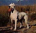 25 / Dogo Argentino