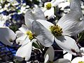 Dogwood tree flowers.jpg