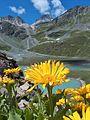 Doronic à grandes fleurs sur fond de lac blanc-et col du soufre (2).JPG