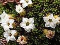 Dracophyllum muscoides flowers.jpg
