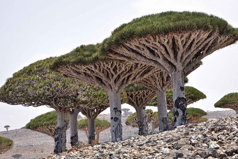 File:Dragon's Blood Tree, Socotra Island (13510116894).jpg