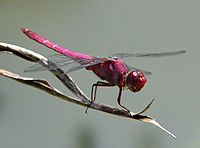 Dragon fly .jpg