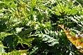 Dryopteris erythrosora 1zz.jpg