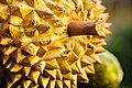 Durian - The Fruit Hunters - Eye Steel Film.jpg