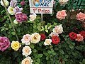 Dwarf Rose from Lalbagh flower show Aug 2013 8493.JPG