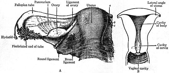 EB1911 Reproductive System, in Anatomy - A. uterus and broad ligament; B. uterine cavity.jpg