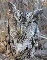 Eastern Screech-Owl (30695096717).jpg