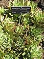 Echeveria agavoides Gardenology.jpg