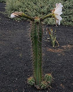 Echinopsis lageniformis flowering 06 (cropped).jpg