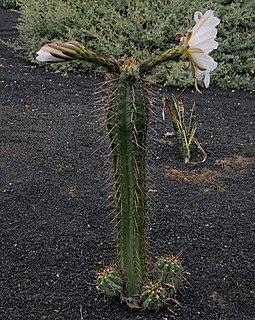 <i>Echinopsis lageniformis</i> species of plant
