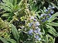 Echium callithyrsum.jpg