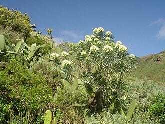 Echium leucophaeum - Echium leucophaeum at San Andrés, Tenerife Island