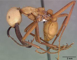<i>Eciton burchellii</i> Species of ant