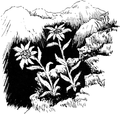 Edelweiss 1 (PSF).png