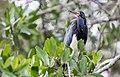 Egretta tricolor La Manzanilla.jpg