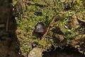 Eichhof 06.08.2017 Trichophaea gregaria (36967835290).jpg