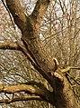 Eik (Quercus) in verval. Locatie, Natuurterrein De Famberhorst 01.jpg
