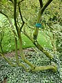 Elaeagnus montana 02 by Line1.jpg