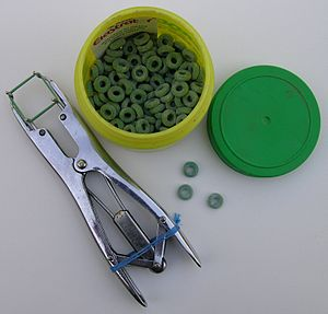 Castration - Rubber rings and pliers used in elastration