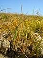 Eleocharis acicularis plant (01).jpg