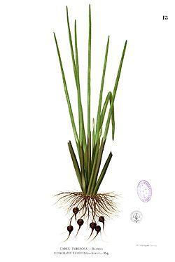 Eleocharis dulcis Blanco1.15.jpg