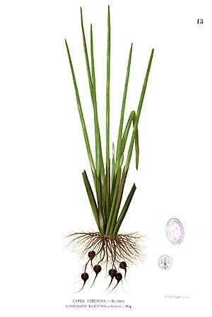 Eleocharis dulcis - Image: Eleocharis dulcis Blanco 1.15