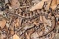 Elgaria kingii (Arizona Alligator Lizard) (6881124368).jpg