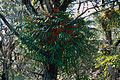 Elkhorn Fern (Platycerium bifurcatum) (9951620343).jpg