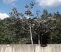 Embaúba-prateada no Lado da Rodovia dos Tamoios (cropped).jpg