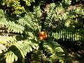 Encephalartos ferox 2c.JPG