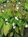 Epimedium diphyllum 1.JPG
