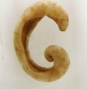 Solenogastres - A preserved specimen of Epimenia verrucosa