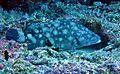 Epinephelus coeruleopunctatus Maldives.JPG