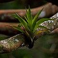 Epiphyte Julius Falck.jpg