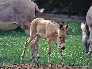 African wild ass - A foal of Somali wild ass (E. a. somalicus)