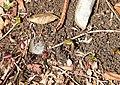 Eranthis pinnatifida s5.jpg
