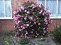 Ericales - Camellia japonica - London 3.jpg