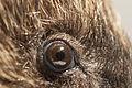 Erinaceus europaeus eye.jpg