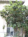 Eriobotrya japonica - Talence.jpg