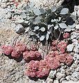 Eriogonum lobbii prostrate buckwheat bright-pink.jpg