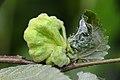 Eriosoma lanuginosum on Ulmus sp. (31772306832).jpg
