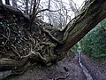 Eroded roots - geograph.org.uk - 1670871.jpg