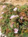 Erodium corsicum.jpg