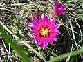 Escobaria vivipara (4008224970).jpg