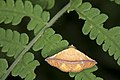 Eublemma quadrapex (35441234481).jpg
