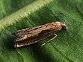 Eucosma obumbratana (39469026630).jpg